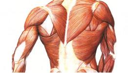 Топ-10 фактов о мышцах